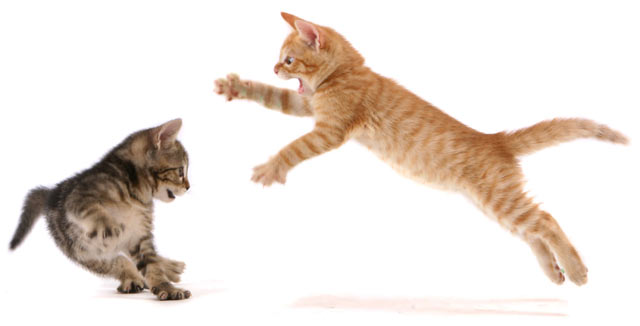 Learn how to safely stop a cat fight.